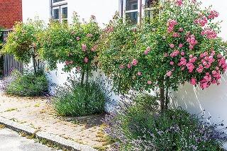 Ako zazimovať stromčekové ruže