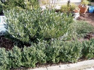 Pri výsadbe je vhodné vyberať menšie sadenice do skupín a na obruby, väčšie pre dominantné prvky v solitérnom postavení.