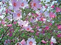 Letné hry kvitnúcich krov
