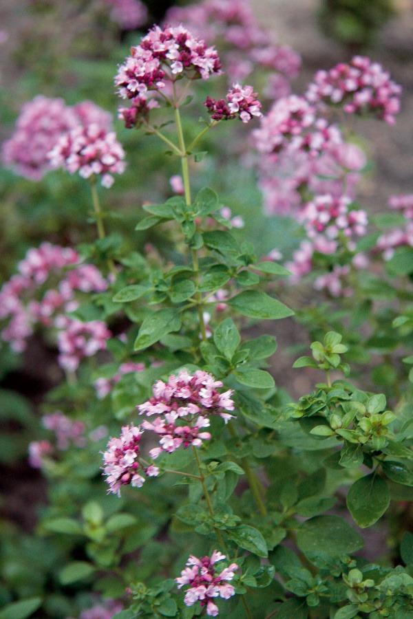 Knajkrajším kvitnúcim aromatickým druhom