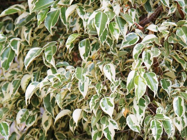 Vzrastenejšie XXL izbové rastliny,