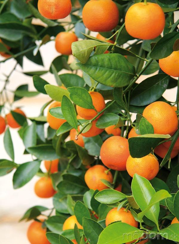 Optimálna teplota pre citrusy