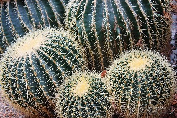 Rebrovec (Echinocactus grusonii), ľudovo