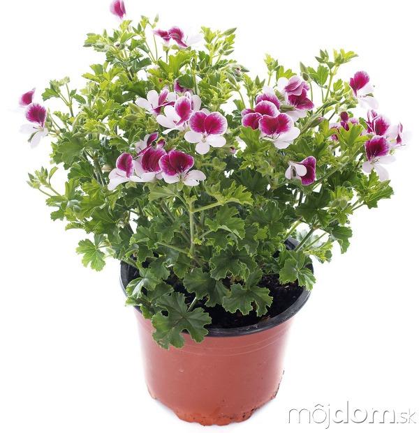 Levanduľa (Lavandula angustifolia)
