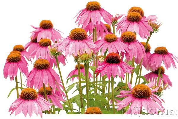 12 rastlín, ktoré spoľahlivo