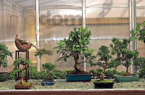 Skupina bytových bonsajov: fikus