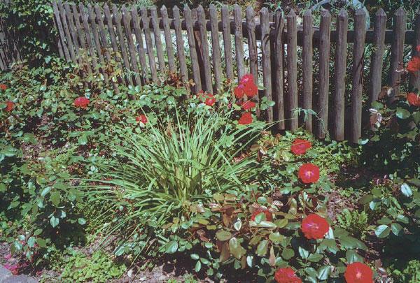 Ruže sa pestujú od staroveku a aj dnes ich možno použiť do