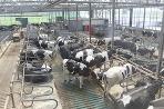 Vďaka kravským výkalom môže