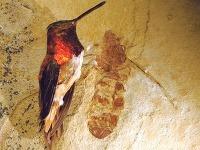 Skamenelina mravca žijúceho pred desiatkam miliónov rokov