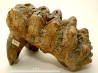 Stolička mastodonta