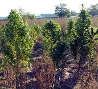 Polícia našla v záhrade obvineného 40 vysadených rastlín konope.