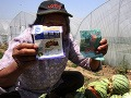 Do melónov dávajú priveľa hnojiva, začali vybuchovať!