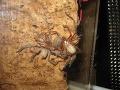 Pavúky predátori sa delia o potravu