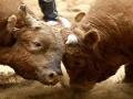 Chovateľa na pastvine ťažko zranil rozzúrený býk!