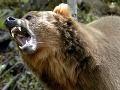 Na Sibírčana zaútočil medveď, zabil ho nožom!