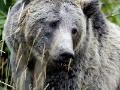 Grizly zabil poľovníka, potom ho ulovili