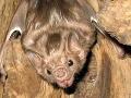 Na Slovensku žije 60 tisíc netopierov