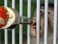 Opice v kazašskej zoo zahrieva vínko s jabĺčkami, citrónom a cukrom