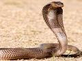 Chovateľ hadov bojuje o život, pri kŕmení ho uhryzla kobra!