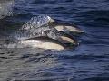 Delfíny pomáhali rybárom: Samé sa pri tom nakŕmili