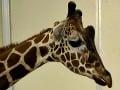 Amanda v zoo: Preliezla plot k žirafám, dostala kopanec do hlavy aj pokutu