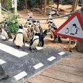 Tučniaci majú prvý priechod pre chodcov