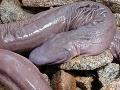 V Brazílii objavili živočícha, ktorý vyzerá ako pánske prirodzenie!