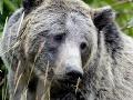 Krvilačný grizly zabil turistu: Čaká sa na analýzu DNA medvedieho žalúdka!