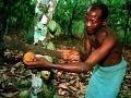 Chudobní pestovatelia kakaa sú zúfalí: Ozbrojení banditi im kradnú úrodu!