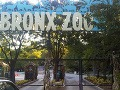 Muž v newyorskej zoo skočil do výbehu, tiger mu spôsobil vážne zranenia