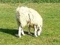 VIDEO V Anglicku sa pasie čudná ovca: Žije s hlavou naopak!