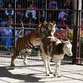 Kruté divadlo v cirkuse: Tiger sa vrhne na teliatko