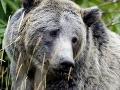 Strašná smrť mladíka: Vo výbehu ho dohrýzol medveď grizly!