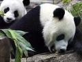 Ohrozené pandy budú zachraňovať životy: Vedci objavili pandie antibiotikum