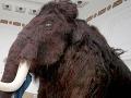 Vedci na Sibíri objavili pozostatky mamuta s čerstvou krvou