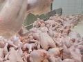 V Rumunsku stiahli z predaja 55 ton kuraciny: Salmonela!