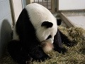 Zázrak prírody: Panda v zoo v Atlante porodila dvojičky!