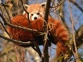 Bratislavské pandy červené sa tešia z prírastku, návštevníkom ho však ukázať nechcú