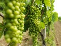 Pohľad na vinice v slovenskej časti Tokajskej oblasti. Tokajská vinohradnícka oblasť sa rozprestiera na juhozápadných výbežkoch Zemplínskych vrchov, a je jednou z piatich oblastí sveta, kde je možné dopestovať hrozno na výrobu prírodne sladkých vín.