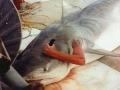 Dramatické FOTO: Rybár vo vnútri žraloka sa zúfalo snaží prerezať von!