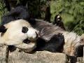 Radosť vo washingtonskej zoo: Na svet prišlo mláďa pandy!