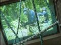 V hodonínskej ZOO chcú zvýšiť počet šimpanzov: Premietajú im porno!