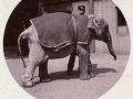 Sloníča v zoo, cca 1890.