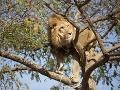 Západoafrické levy sú na pokraji vyhynutia, zostáva už len 400 jedincov