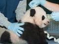 Panda Bao Bao bola v Smithsonian National Zoo prvýkrát prezentovaná verejnosti po tom, ako dostala meno.