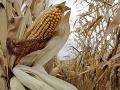 Aktivisti sa boja genetického manipulovania s potravinami: Vraj to ohrozuje naše zdravie