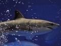 Po úmrtiach ľudí vyhlásila Austrália lov žralokov!