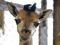 V bratislavskej ZOO sa narodil samček žirafy Rotschildovej!