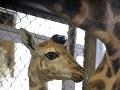 Meno bratislavského žirafieho mláďatka vyberú ľudia v ankete!