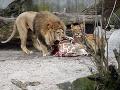 V Dánsku sa s tým nepárajú: Najprv utratili žirafu, teraz štyri zdravé levy, aj mláďatká!